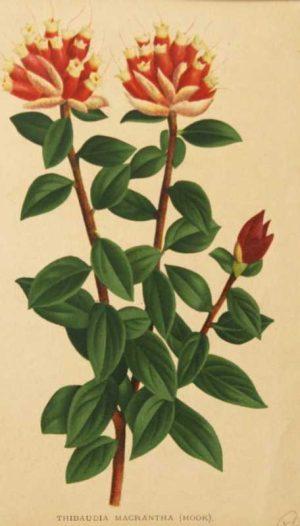 Botanical Chromolithograph Vintage Antique Print is for sale.