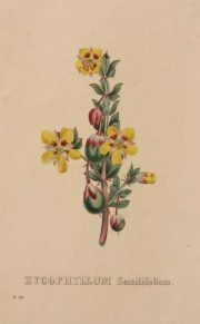 Zycophyllum Sessilifolium a hand colored reproduction, On Sale