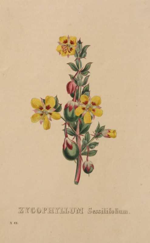 Zycophyllum Sessilifolium a hand colored reproduction, On Sale