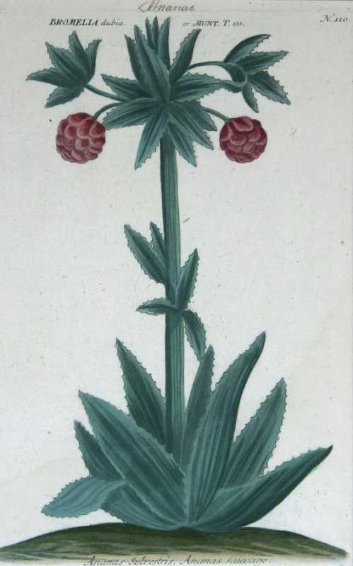 """Ananus Sclvestris (PineApple) N. 110"" A Weinmann, Johann, Wilhelm Mezzotint With Some Hand Coloring. This Antique Botanical Print Is For Sale."