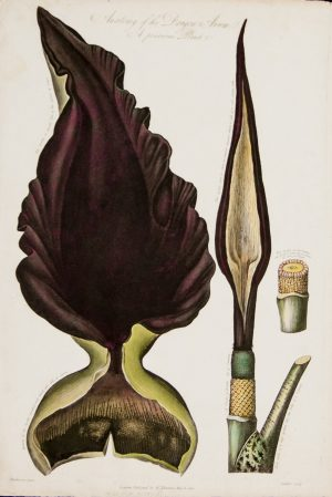 Anatomy of the Dragon Arum