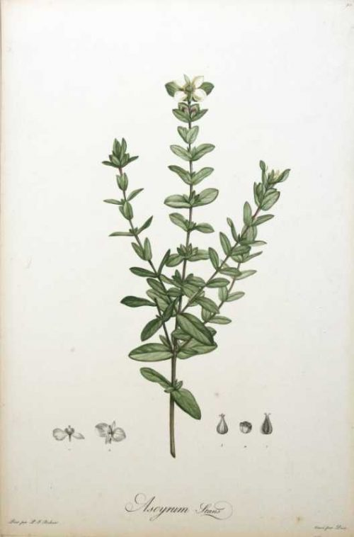 """""""Ascyrum Stans"""" A Redoute,Pierre, Joesph Stipple Engraving. This Antique Botanical Print is For Sale."""