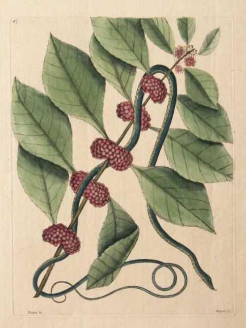 """""""Blueish Green Snake"""" A Catesby, Mark Hand Colored Etching. This Antique Botanical and Natural History Print is For Sale"""