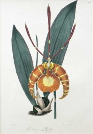 """Butterfly Oncidium Orchid"" A Mills, R. Hand Colored Lithograph Botanical Print From The Floral Cabinet and Magazine Of Exotic Botany 1837-1840. This Antique Print is For Sale."