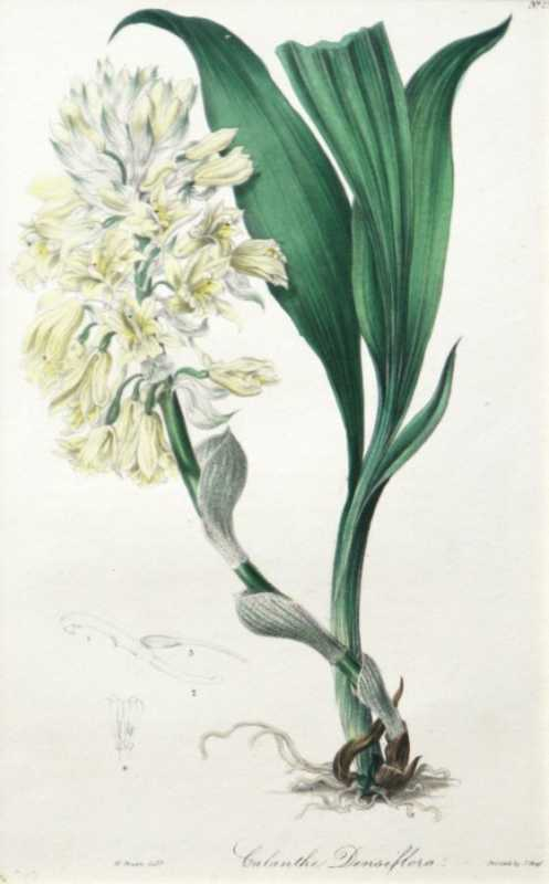 """""""Calanthe Densiflora"""" A W. Green Hand Colored Lithograph Botanical Print From the Floral Cabinet and Magazine Of Exotic Botany 1837-1840, Antique Print For Sale"""