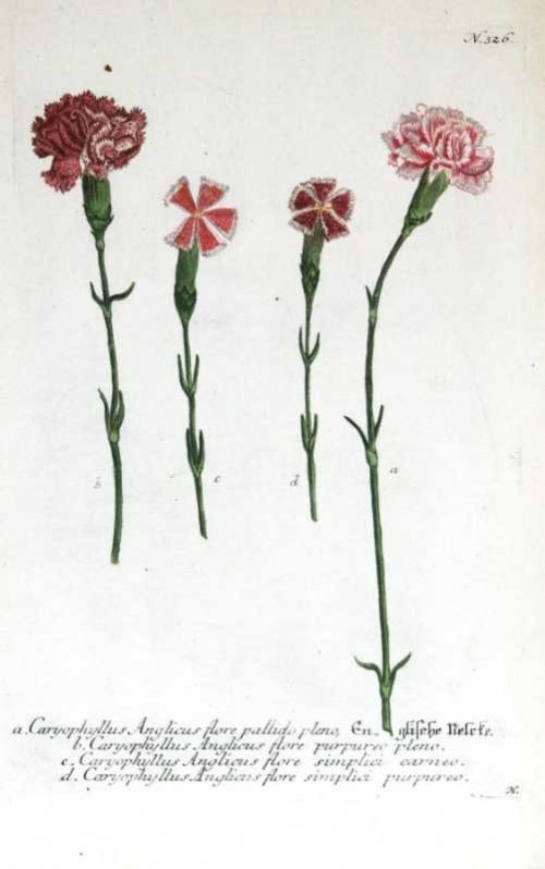 """""""Carnations Plate 326"""" A Weinmann, Johann, Wilhelm Mezzotint Engraving With Some Hand Coloring Botanical Print From the Phytanthoza Icnographia Scientific Volume, On Sale"""