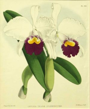 """Cattleya Trianae Splendidissima"" A Fitch J. N. Chromolithograph Botanical Print From the Orchid Album, On Sale"