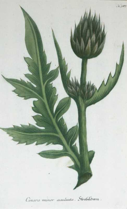"""Cinara Minor Aculeata Artichoke N.387"" A Weinmann, Johann, Wilhelm Mezzotint Engraving With Some Hand Coloring Botanical Print From the Phytanthoza Iconographia Scientific Volumes For Sale"