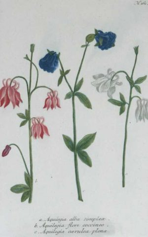"""Columbines Pl. 162"" A Weinmann, Johann, Wilhelm Mezzotint Engraving With Some Hand Coloring Botanical Print From The Phytanthoza Iconographia Scientific Volume On Sale"