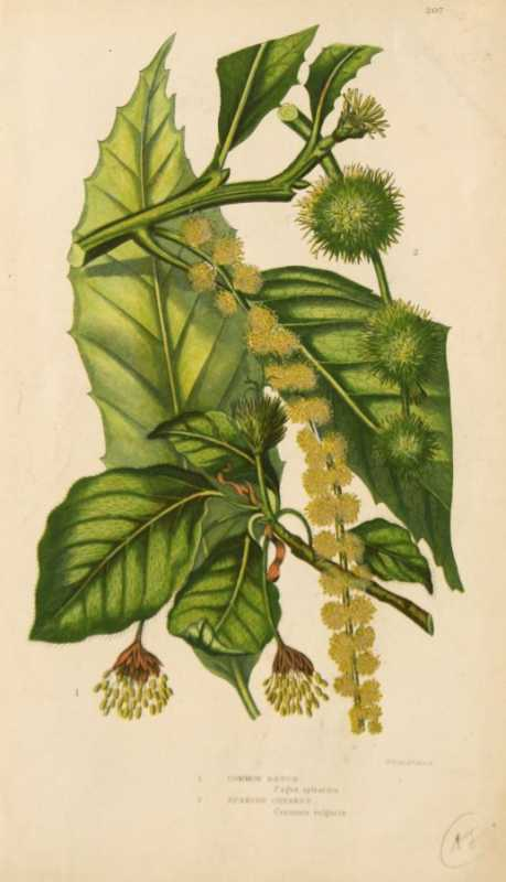 """Common Beech, Spanish Chestnut""A Botanical Chromolithograph On Sale"