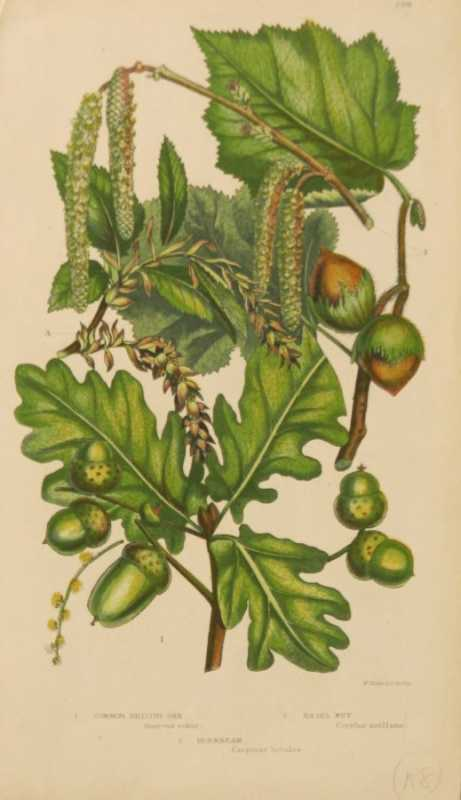 """Common Oak, Hornbeam, Hazelnut"" A Chromolithograph Botanical Print On Sale"