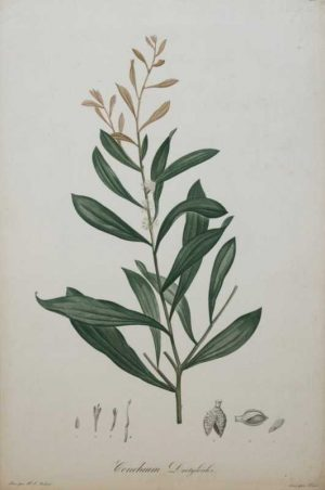 """Conchium Dactyloides"" A Redoute, Pierre, Joseph Stipple Engraving Botanical Print On Sale"