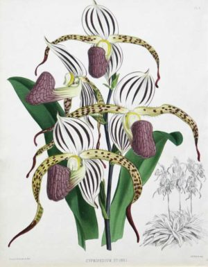 """Cypripedium Stonei"" A Fitch J. N. Chromolithograph Botanical Print On Sale"