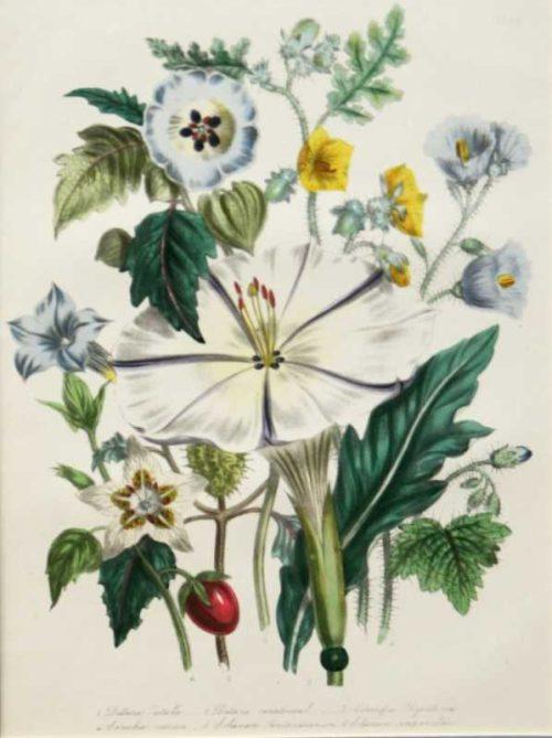 """Datora Salanum"" A Loudon, Jane, Webb Hand Colored Lithograph Botanical Print On Sale"