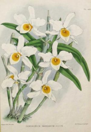 """Dendrobium Wardianum Album"" A Fitch J. N. Chromolithograph Botanical Print On Sale"