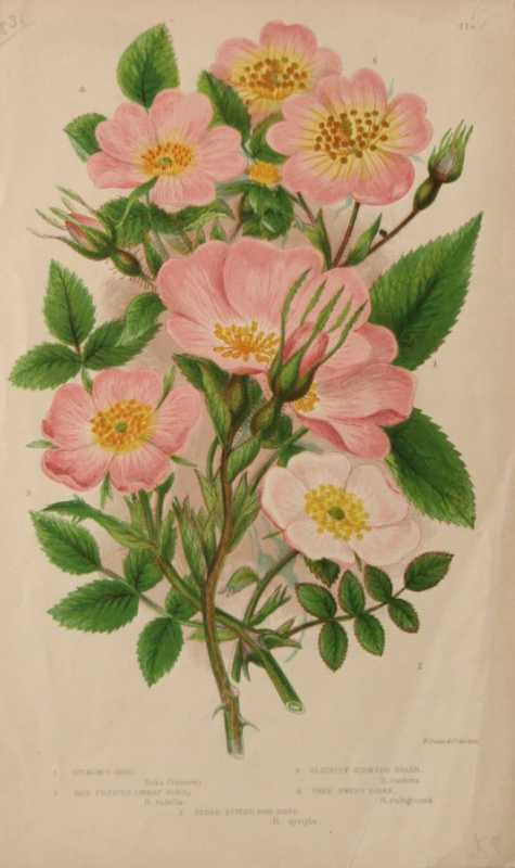 """Dickson Rose, Red Puffed Dwarf Rose, Slightly Scented Briar, Close Styled Dog Rose, True Sweet Briar"" Chromolithograph Botanical Print On Sale"