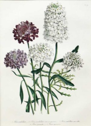 """Five Varieties Of Iberis"" A Loudon Jane Webb Hand Colored Lithograph Botanical Print On Sale"