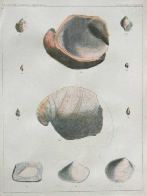 """Fossil Shells Plate VI"" Lithograph Of Sea Shells On Sale"