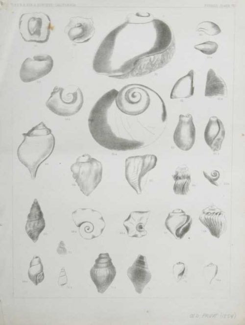 """""""Fossils Plate VII"""" Lithograph Of Sea Shells On Sale"""