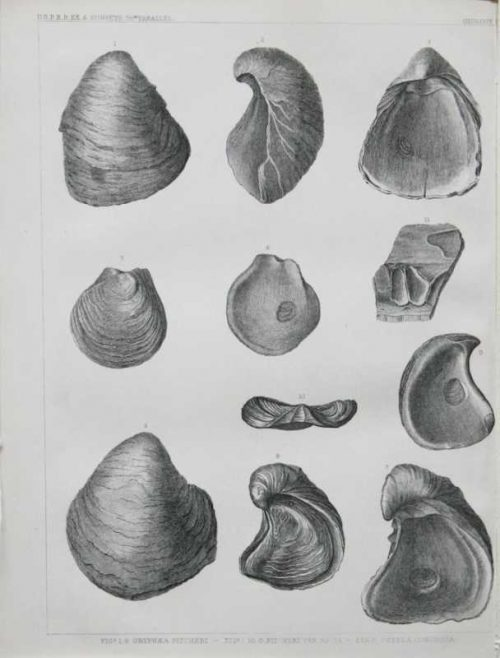 """Gryphaea Picheri Pit Heri Var. Na. Ta Ostella Congesta"" Lithograph Of Sea Shells For Sale"