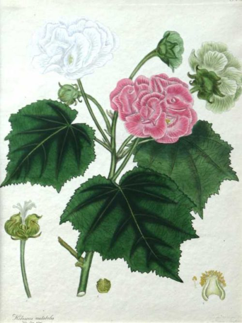 "Hibiscus Mutabilis Pl.228 antique print by Henry C. Andrews is a beautiful hand colored etching from ""The Botanist's Repository, Comprising Colour'd Engravings of New and Rare Plants Only"". Many of the images in this periodical were new to science."