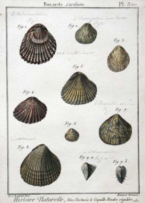 "a fine print. This antique piece of art is titled Histoire Naturelle, Vers Testace's Coquille Bivalve reguliere PL 300 engraving by Redoute. Bernard Direxit was one of the most prolific natural history engravers during the 1700's. His greatest work was ""Histoire Naturelle"", which this plate is from. This print is in very good condition. There are hand-written notes in pencil identifying each shell. The script looks contemporary to the print and does not detract from the beauty of its subject. The hand coloring appears to be original."