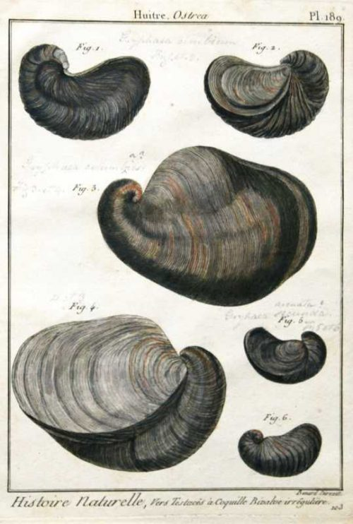 """Histoire Naturelle, Vers Testace's A Coquille Bivalve Irreguliere Pl. 189"" Engraving Of Sea Shells For Sale."