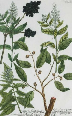 """Ignum Indicum Seu Calsia Cariophyllata, Pl. 650"" A Johann Weinmann Wilhelm Mezzotint Engraving With Some Hand Coloring Botanical Print On Sale"