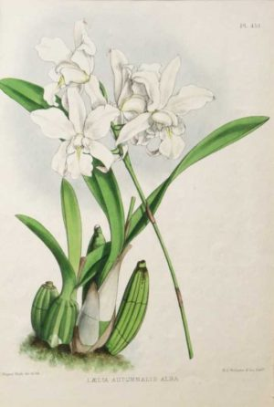 Laelia Autumnalis Alba is a chromolithograph by Fitch.The Orchid Album was painted and lithographed by John Nugent Fitch (1840-1927) and was comprised of 528 plates. It is still considered one of the most important illustrated works on orchids. Fitch was also a prolific contributor to the Botanical Magazine, having lithographed over 2,500 drawings for this publication. Published by B.S. Williams.