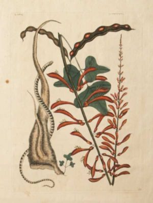 """Little Brown Bean Snake"" A Catesby, Mark Hand Colored Etching On Sale"