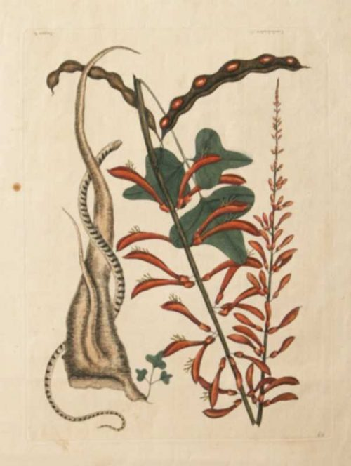 """""""Little Brown Bean Snake"""" A Catesby, Mark Hand Colored Etching On Sale"""
