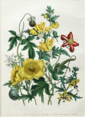 """Loosa Blumen Bachia And Bartonia"" A Loudon, Jane, Webb Hand Colored Lithograph Botanical Print, On Sale"