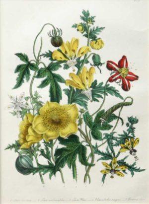 """Loosa Blumen Bachia And Bartonia"" A Loudon, Jane, Webb Hand Colored Lithograph Botanical Print, On Sale"