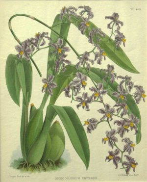 """Odentoglossum Edwardii"" A Fitch J. N. Chromolithograph Botanical Print On Sale"