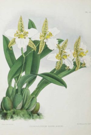 "A chromolithograph print for sale with a botanical theme by A Fitch J.N., titled ""Odontoglossum Rossii Albens""."