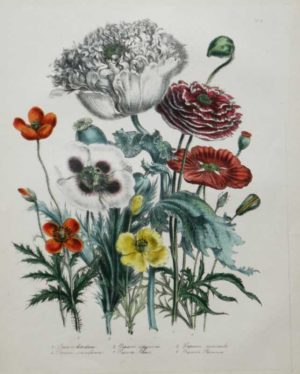 """Opium Poppy"" A Loudon, Jane, Webb Hand Colored Lithograph Botanical Print On Sale"