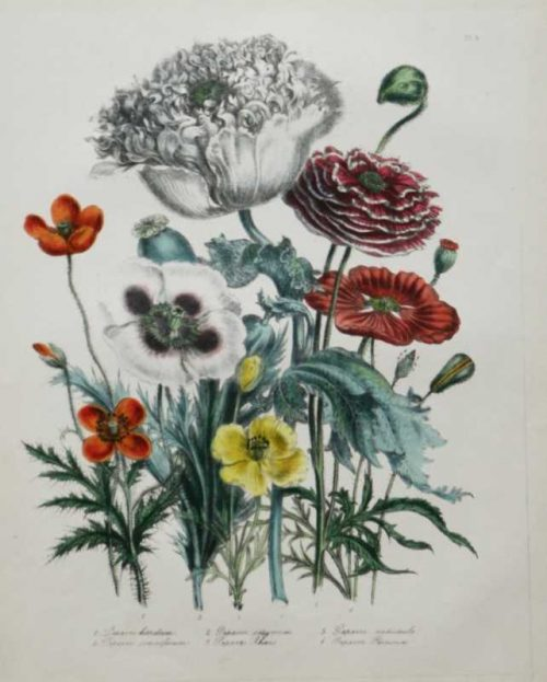 """""""Opium Poppy"""" A Loudon, Jane, Webb Hand Colored Lithograph Botanical Print On Sale"""