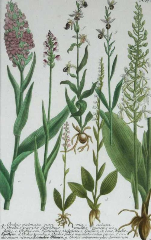 """""""Orchis Palmata Non Maculata"""" A Weinmann, Johanna, Wilhelm, Mezzotint Engraving With Some Hand Coloring, Botanical Print On Sale"""