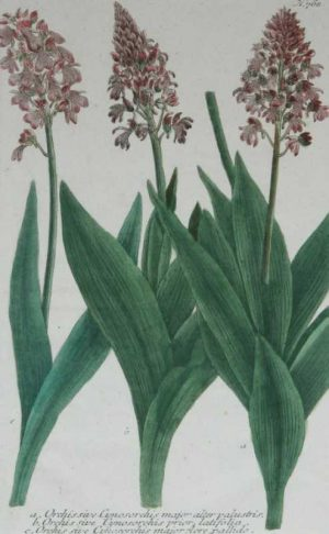 """Orchis Sive Cynosorchis Major N. 768"" A Weinman, Johann, Wilhelm, Mezzotint Engraving With Some Hand Coloring Botanical Print On Sale"
