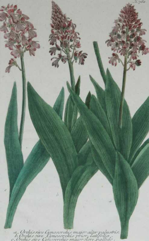 """""""Orchis Sive Cynosorchis Major N. 768"""" A Weinman, Johann, Wilhelm, Mezzotint Engraving With Some Hand Coloring Botanical Print On Sale"""