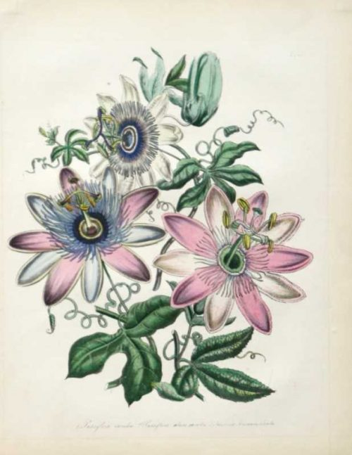 """Passion Flowers"" A Loudon Jane Webb Hand Colored Lithograph Print, A Botanical Print on Sale"