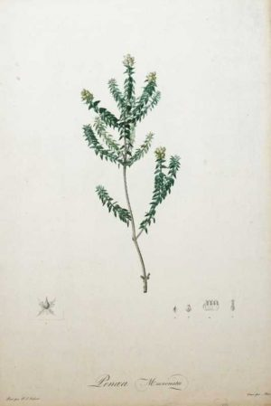 """Penaea Mucronata"" A Redoute, Pierre, Joseph Stipple Engraving Print. Botanical Print on Sale."