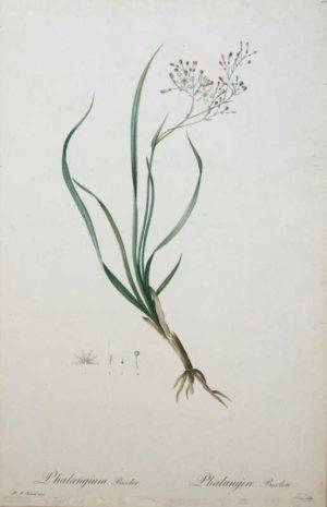 """Phalangrum Bicolor Philangere Bicolor"" A Redoute, Pierre, Joseph Stipple Engraving Print on sale. A Botanical Print."