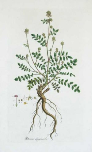 Poterium Sanguisorba Hand-Colored-Engraving-Curtis-William-For-Sale