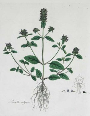 Prunella Vulgaris Self Heal hand colored engraving by Prunella Vulgaris Self Heal hand colored engraving by William Curtis (1746-1799 ). He published his greatest work , Flora Londinensis, over a 23 year period. This important folio describes and illustrates all the wild flowering species growing within a ten mile radius of the center of London. The resulting 6 volumes were one of the first works on the flora of Britain accessable to the general reader which could assist in the identification of a species.