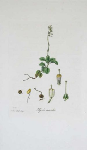 Pyrola Secunda–One -sided Winter Green hand colored engraving by William Curtis (1746-1799 ). He published his greatest work , Flora Londinensis, over a 23 year period. This important folio of vintage botanical prints describes and illustrates all the wild flowering species growing within a ten mile radius of the center of London. The resulting 6 volumes were one of the first works on the flora of Britain accessible to the general reader which could assist in the identification of a species.