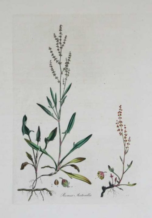 Rumex Acetosella-sheeps sorrel hand colored engraving by William Curtis (1746-1799 ) published his greatest work , Flora Londinensis, over a 23 year period. This important folio describes and illustrates all the wild flowering species growing within a ten mile radius of the center of London. The resulting 6 volumes were one of the first works on the flora of Britain accessible to the general reader which could assist in the identification of a species.