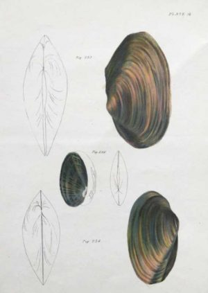 """Shells, Natural History Of New York Plate 18"" An Endicott Lithograph. This Antique Natural History Print Is For Sale."