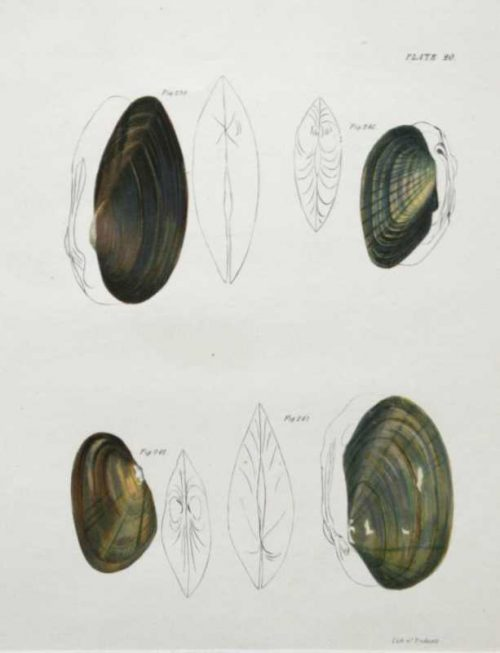 """""""Shells, Natural History Of New York Plate 20"""" An Endicott Lithograph. This Antique Natural History Print is For Sale."""