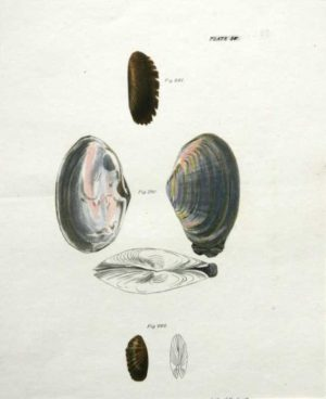 """Shells, Natural History Of New York Plate 30"" An Endicott Lithograph Print"